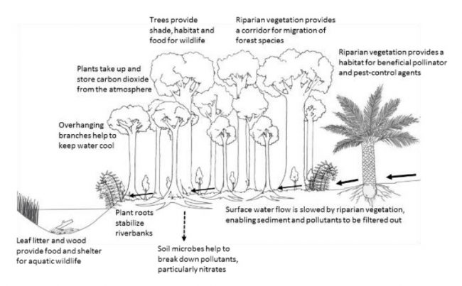 a diagram of riperian zones showing the benefit that forests have in keeping waterways clear of pollutants and sediments