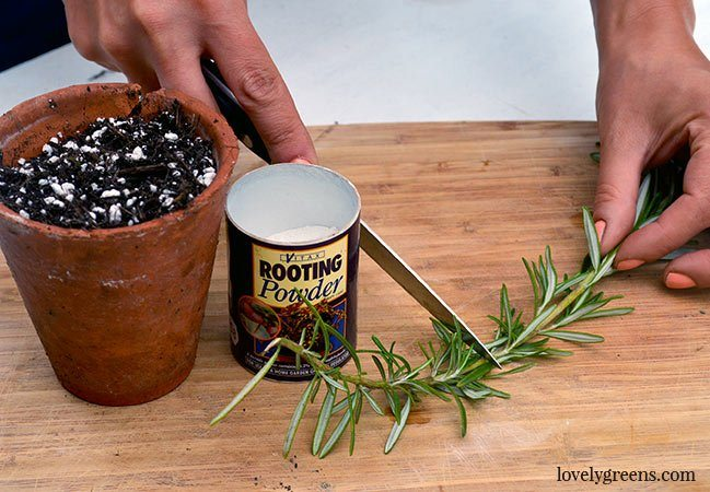 Plants for free: How to propagate rosemary from stem cuttings. This method helps you to create dozens of new plants from a parent plant. Includes a DIY video #lovelygreens #herbgarden #growrosemary