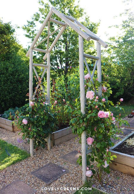 Tips on how to plant bare roses including what they are, what to expect when the roses arrive from the grower, and when and how to plant them. This is a winter gardening task that's best done when the ground isn't frozen #gardeningtips #flowergarden #roses