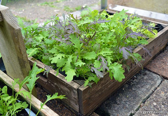 What to Plant in Fall: Christmas potatoes, onions, & leafy greens
