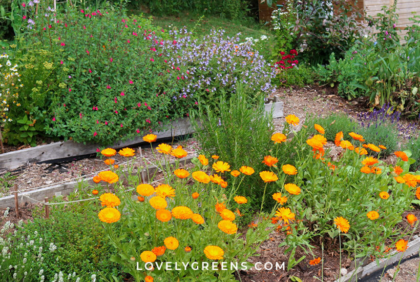 Grow your own medicinal herb larder with these ideas for plants to grow in a salve garden. Includes plants to infuse into healing balms to soothe eczema, bug bites, and minor burns and injuries #herbalism #herbalmedicine #apothecary