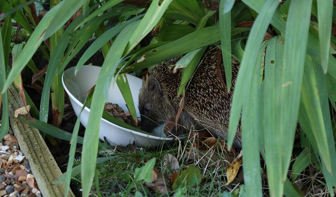 Tips on how gardeners can help hedgehogs in the garden. Includes ideas for creating shelter, creating access, and avoiding metaldehyde slug pellets #gardeningtips #britishwildlife #hedgehogs