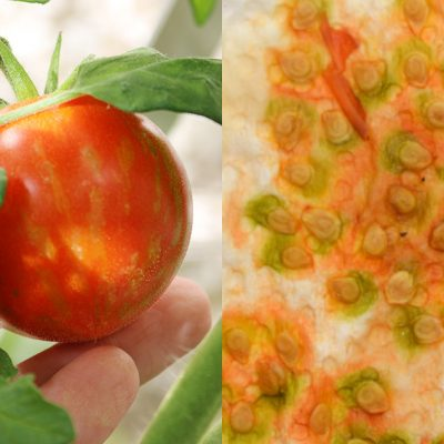 How to Save Tomato Seeds on a Paper Towel