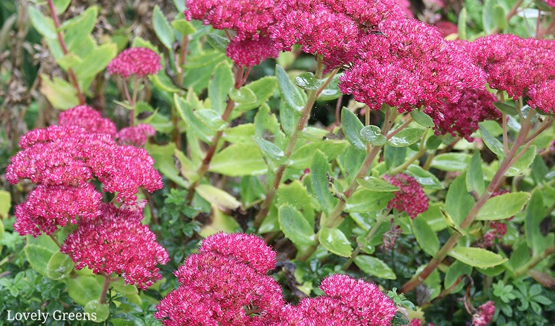 Propagate Sedum Spectabile cuttings to Create New Plants