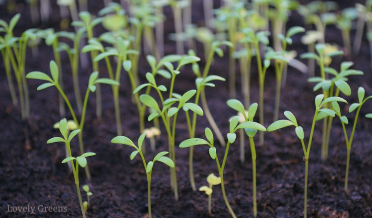 When should I start sowing seeds? A list of the earliest ones to grow