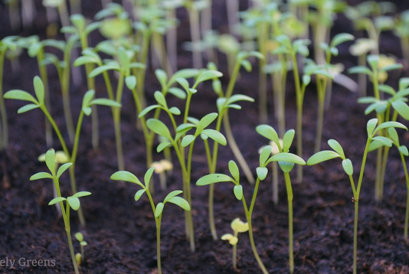 A guide for which seeds can be sown the earliest based on your region's climate #vegetablegarden #gardeningtips #seedsowing
