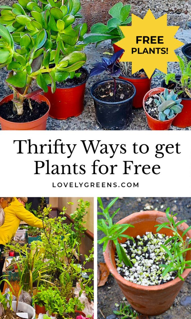 Thrifty Ways to get Plants for Free: Learn how to bulk out your garden and growing space with plants that are free or cost practically nothing #gardeningtips #vegetablegarden #permaculture