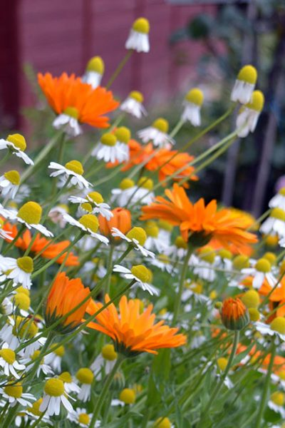 Grow a beauty and skincare garden with skin healing plants including calendula, chamomile, lavender, peppermint, and roses #lovelygreens #diybeauty #skincare #herbalism #herbs #plantbased #gardeningtips