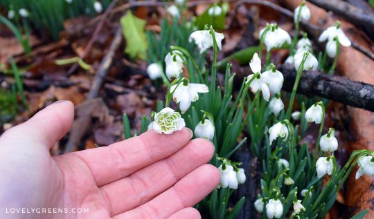 How to grow Snowdrops -- the year's first flowers #gardening #snowdrops #flowers #flowergarden