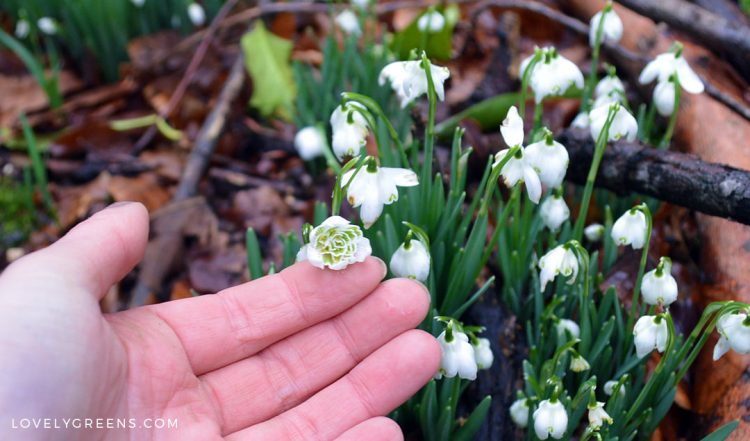 How to grow Snowdrops, the year's first flowers