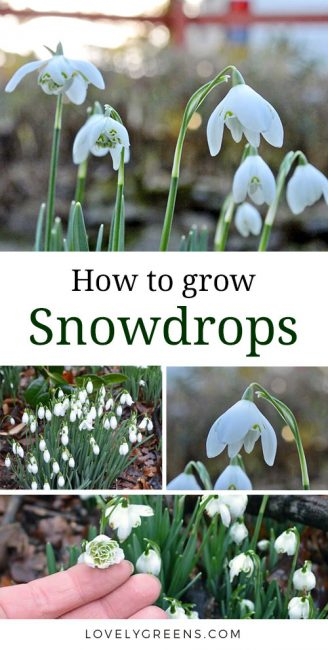 Tips on how to grow Snowdrops. Includes advice on planting them 'in the green' and aftercare. Video with snow drop growing tips at the end #lovelygreens #flowergarden #snowdrops