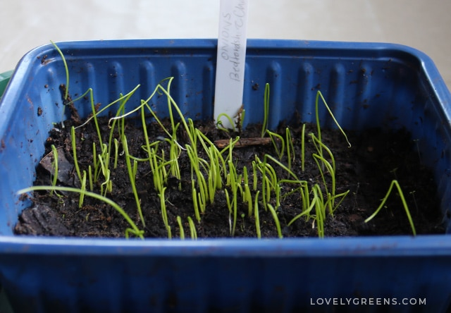 February garden jobs including seeds to sow, crops to harvest, winter garden organization, and projects for the vegetable garden #gardeningtips #vegetablegarden