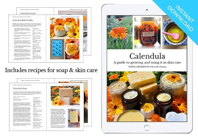 Calendula: A guide to Growing & Using it in Skincare by Tanya Anderson as seen on BBC's Gardeners' World. Includes detailed info on calendula, growing tips, harvesting, & using it in skincare recipes #herbalism #plantbasedskincare #herbs
