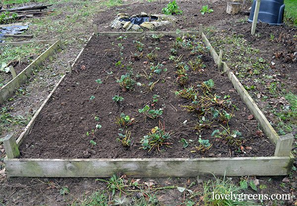 January in the Allotment Garden - pruning raspberries and tidying the strawberry patch
