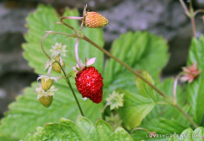 how to grow wild strawberries