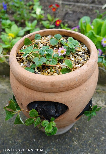 The best way to plant a strawberry pot with tips on choosing plants, erosion, watering, and compost
