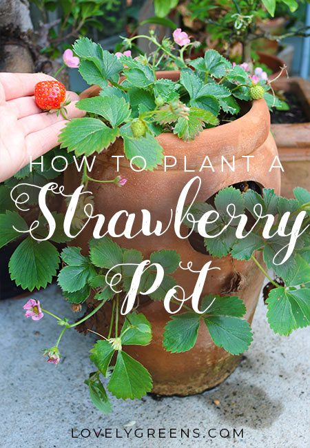 The best way to plant a strawberry pot with tips on choosing plants, erosion, watering, and compost #growstrawberries #containergarden #lovelygreens