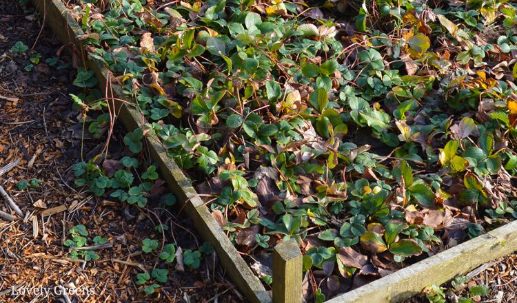 Reviving an Overgrown Strawberry Bed
