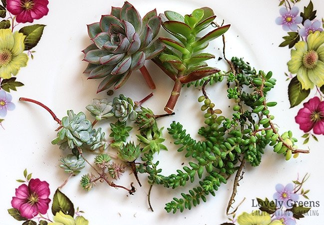 A variety of succulents arranged on a floral plate