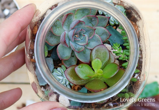 Succulents peeking from the top of a large mason jar