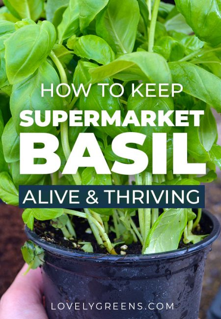 Keep pots of basil alive by planting the strongest plants into their own pots. Grow supermarket basil this way and you'll have dozens of plants that will thrive all year long #lovelygreens #growbasil #gardeninghack