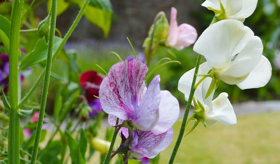 6 Easy Tips for growing Sweet Peas