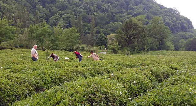 Former Office Workers revive the European Tea Industry