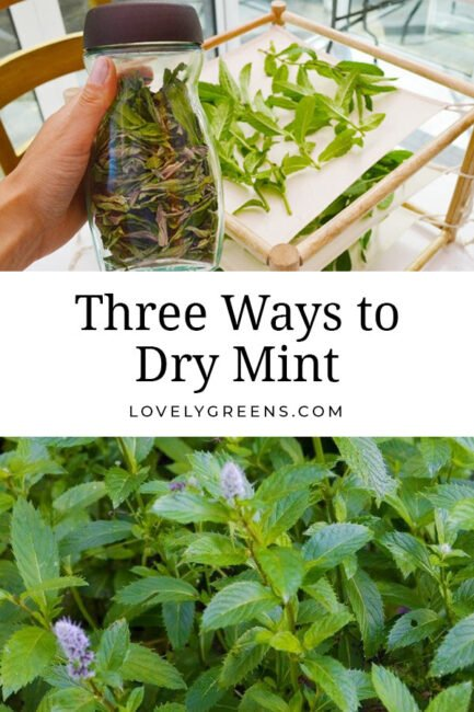 How to dry mint leaves to use in tea, beauty products, and food recipes. Methods include air-drying, using a food dehydrator or drying it in the oven #herbgarden #preservingfood #herbalism