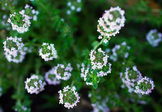 Gardening with Companion Plants & Edible Flowers -- flowering thyme