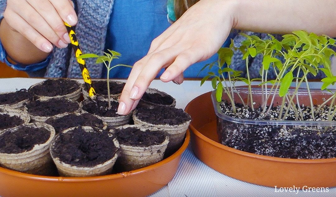 Pricking out Tomato Seedlings and potting them up