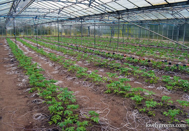 Learning about growing tomatoes and strawberries on a small commercial farm on the Isle of Man