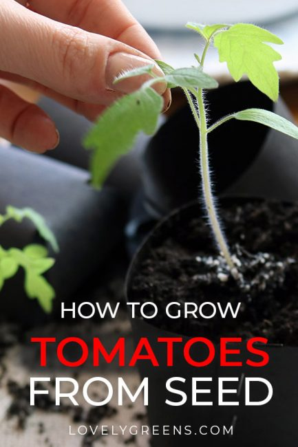 Tips on how to prick out tomato seedlings, planting them into individual pots, and growing them on using grow lights. Includes an instructional video #lovelygreens #growtomatoes #vegetablegardening