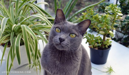 5 Trendy Houseplants that are Toxic to Cats #houseplants #cats