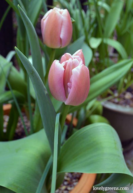 Autumn Gardening: Layer bulbs in pots for explosions of spring color