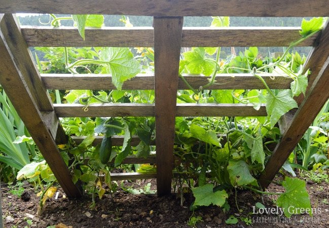 DIY Pallet Cucumber Trellis -- Re-purpose a wood pallet into a quick and