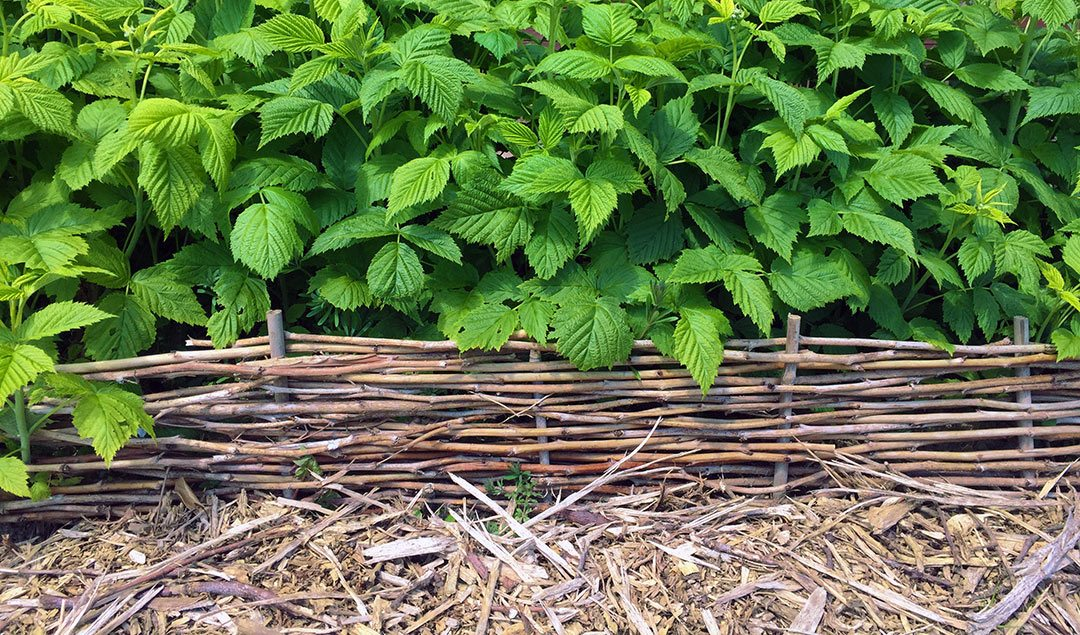 How to weave pruned raspberry canes into attractive garden edging #gardenedging #raspberrycanes #diygarden #gardendiy #gardenproject #recycledgarden