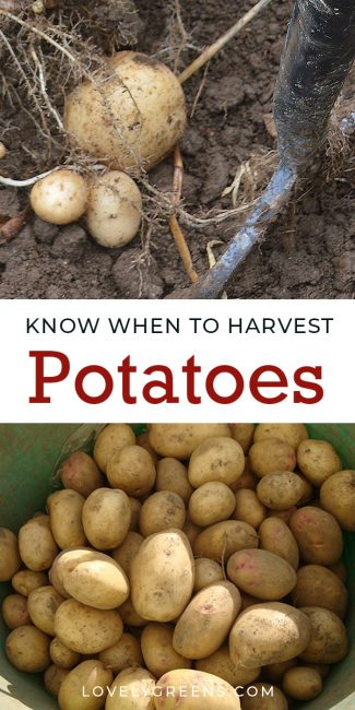 How to know when to harvest potatoes: it's based on whether they're an early potato or main crop and what happens to their foliage and flowers #lovelygreens #growyourown #gardeningtips