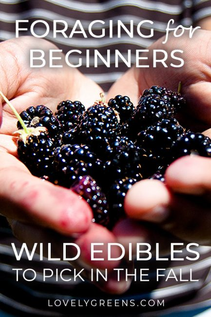 Autumn Foraging Guide: 6 Easy to Identify Wild Foods -- Many easy to identify wild foods are ripe for the picking from August to October. That makes autumn the best time for beginners to start foraging #lovelygreens #foraging #wildfood #foodforfree #pickingberries #selfsufficient #homesteading