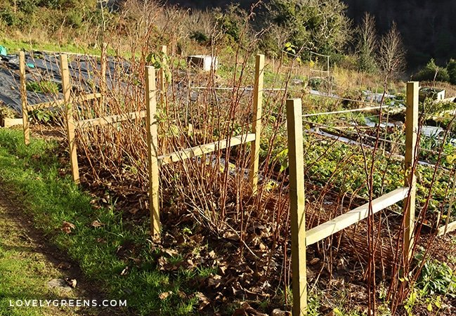 How to create an easy raspberry trellis for autumn-fruiting raspberries, and tips for alternative designs depending on planting style and raspberry type #diygarden #growraspberries #gardeningtips